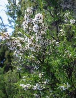 El árbol del té, originario de Australia